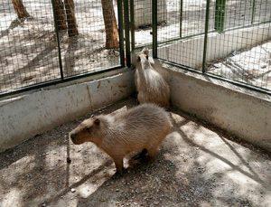 Dünyanın en iri kemirgeni kapibara'ya  yoğun ilgi