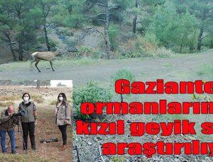 Gaziantep ormanlarındaki kızıl geyik sayısı araştırılıyor