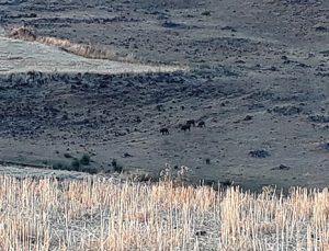 Koyun otlatan çoban domuz sürüsünü görüntüledi