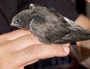 Yavru ebabil kuşu bulundu